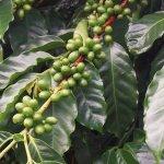 Kahawa Estate Coffee